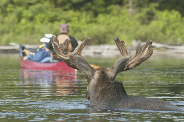 Algonquin Moose, ©Rob Stimpson 100007499