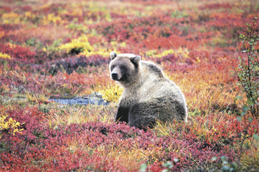 Grizzly Bär @North West Territories Tourism