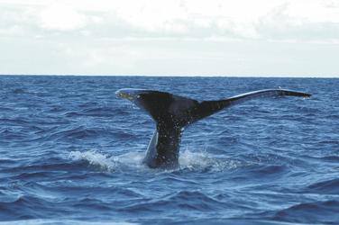 Wal bei Nova Scotia, ©Canadvac