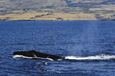 Walbeobachtung auf Maui