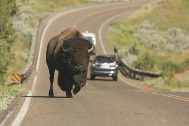 Bison auf dem Highway
