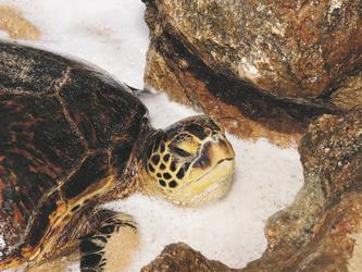 Schildkröte am North Shore von Oahu