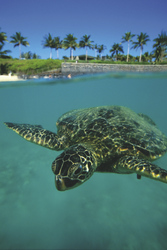 Schildkröte auf Island of Hawaii - ©Kirk Lee Aeder/Hawaii Tourism, ©Kirk Lee Aeder/Hawaii Tourism