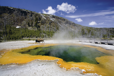 Bison im Yellowstone Nationalpark - ©Sascha Burkard - Fotolia