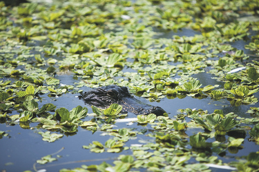 Alligator in den Florida Everglades © Quentin Bacon