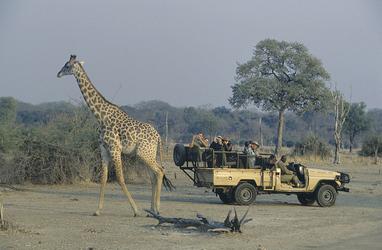 Giraffenbeobachtung bei der Pirschfahrt