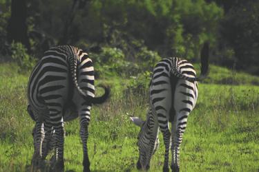 Friedlich grasende Zebras, ©Shamiso