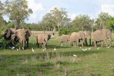Elefantenherde mit Kuhreihern, ©Shamiso Tours