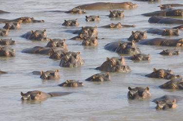 Hippos im Luangwa Fluss