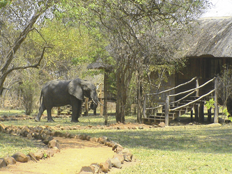 Elefant im Camp, Kafunta River Lodge