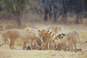 Löwenrudel beim Fressen Nähe Tena Tena Camp