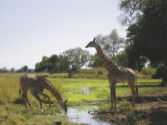 Giraffen beim Trinken