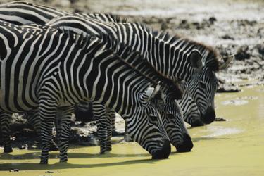 Zebras beim trinken