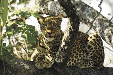 Leopard bei der Kafunta River Lodge