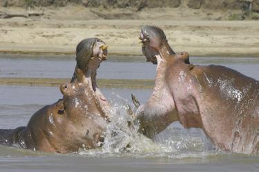 Hippo Kampf im Fluss