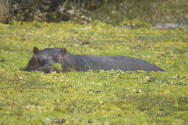 Hippo im Luangwa Fluss