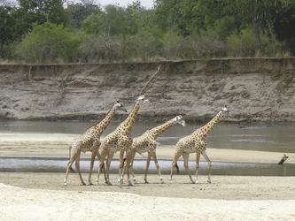 Giraffen bei Kafunta