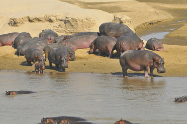 Flusspferde im South Luangwa Nationalpark
